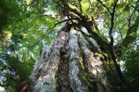 【B】山(森)のエネルギー/紀元杉