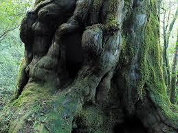【B】山(森)のエネルギー/仏陀杉